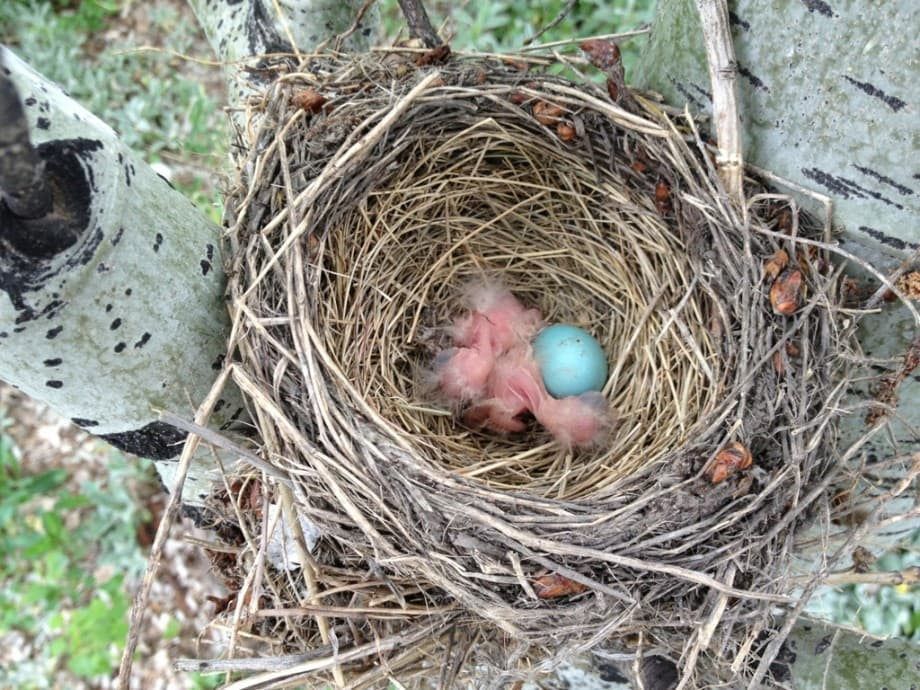 robin babies in nest
